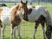 Irish Tinker Horse